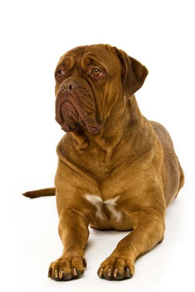 dogue-de-bordeaux dog breed