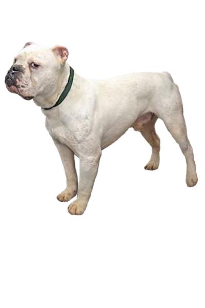 Dorset Olde Tyme Bulldogge
