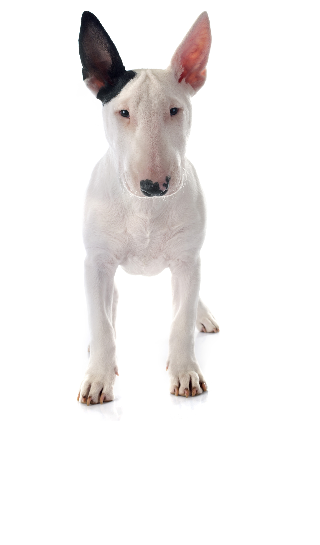 english-bull-terrier dog breed