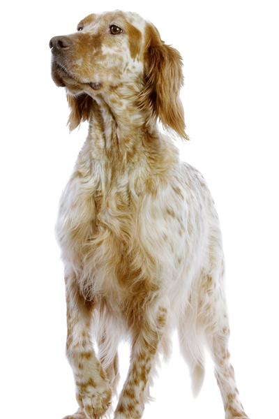 english-setter dog breed