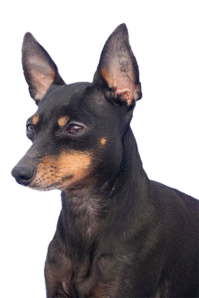english-toy-terrier dog breed