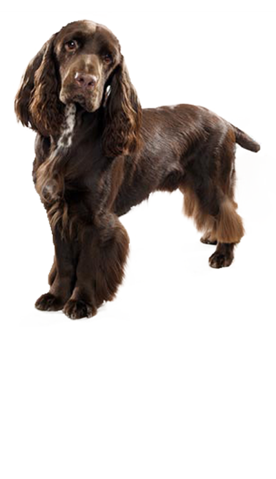 field-spaniel dog breed