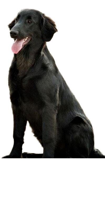 flat-coated-retriever dog breed