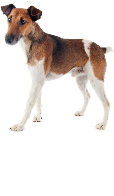 fox-terrier dog breed