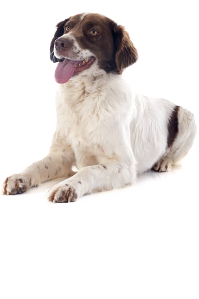 french-spaniel dog breed