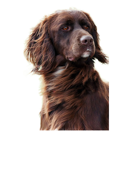 german-longhaired-pointer dog breed