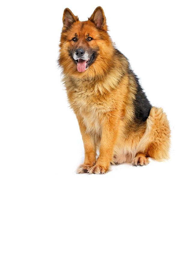 german-shepherd dog breed