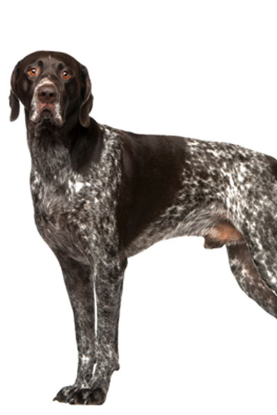 german-shorthaired-pointer dog breed