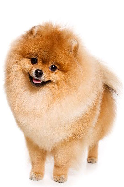 german-spitz dog breed