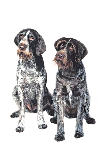 german-wirehaired-pointer dog breed