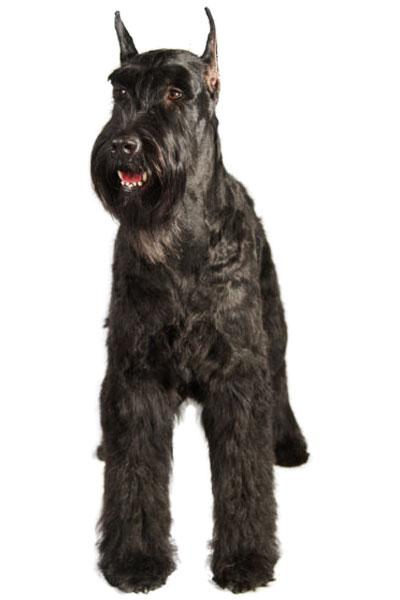giant-schnauzer dog breed