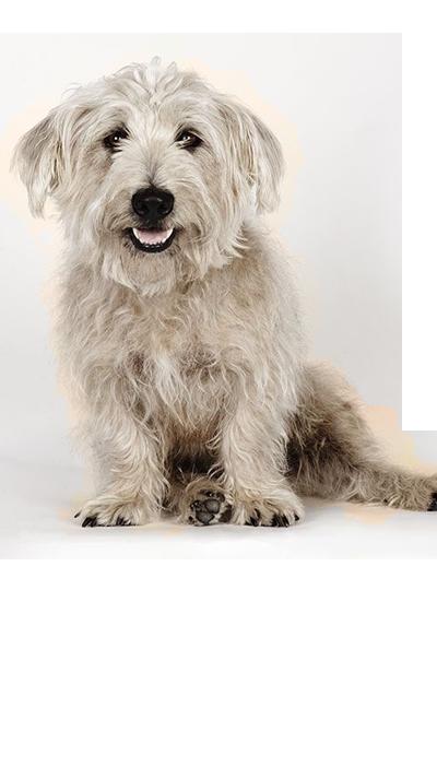 glen-of-imaal-terrier dog breed