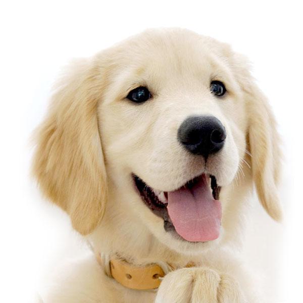 golden-retriever dog breed