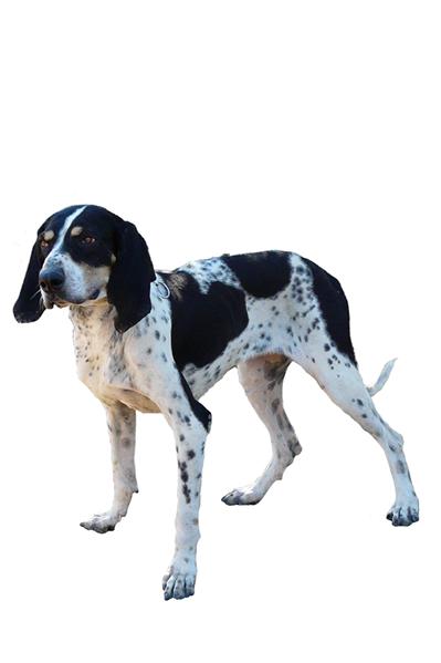 grand-bleu-de-gascogne dog breed