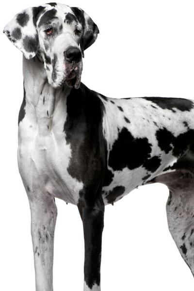 great-dane dog breed