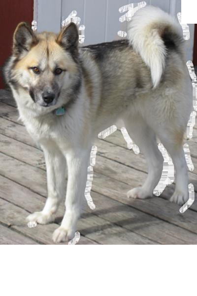 greenland-dog dog breed