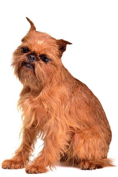 griffon-bruxellois dog breed