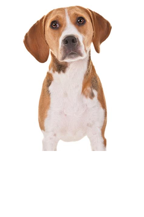 harrier dog breed
