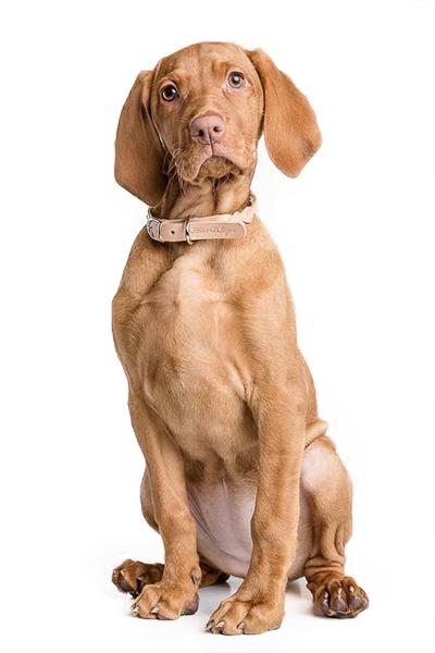 hungarian-vizsla dog breed