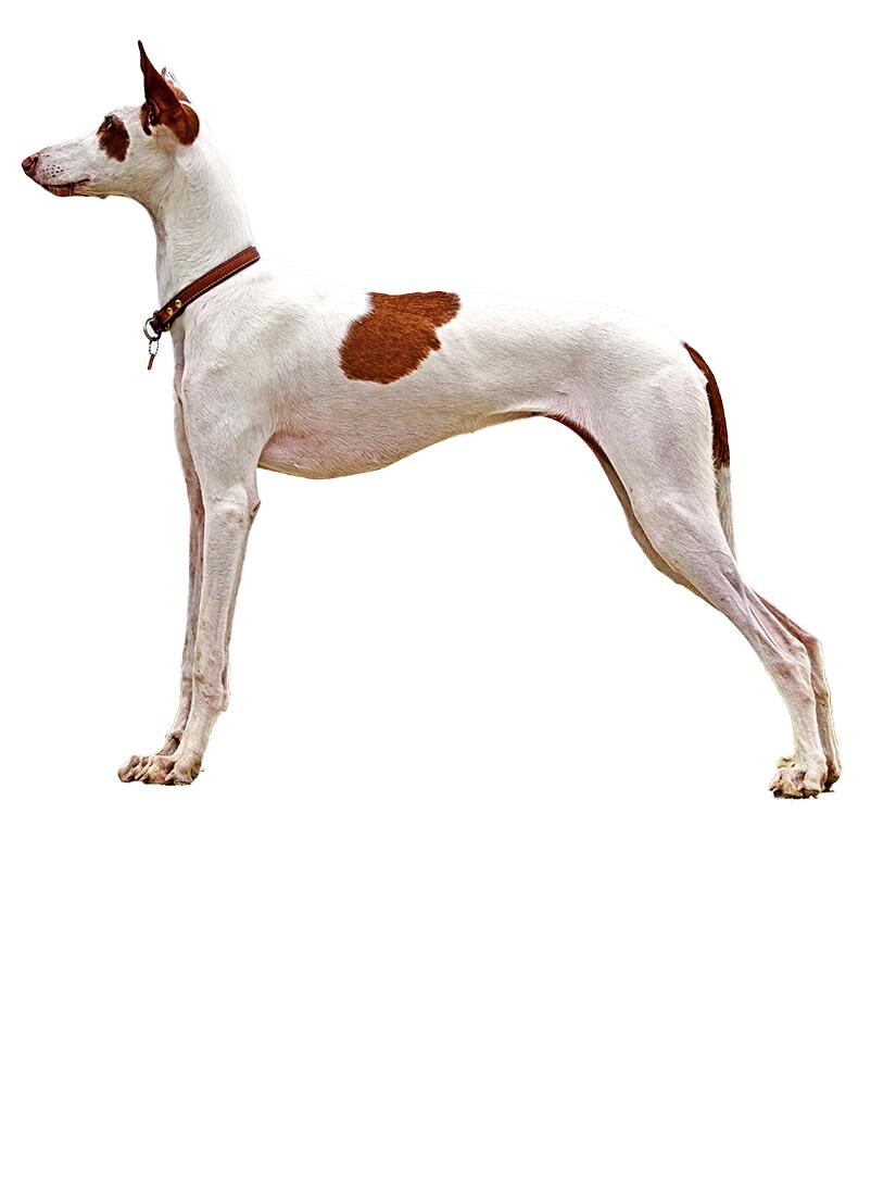 ibizan-hound dog breed