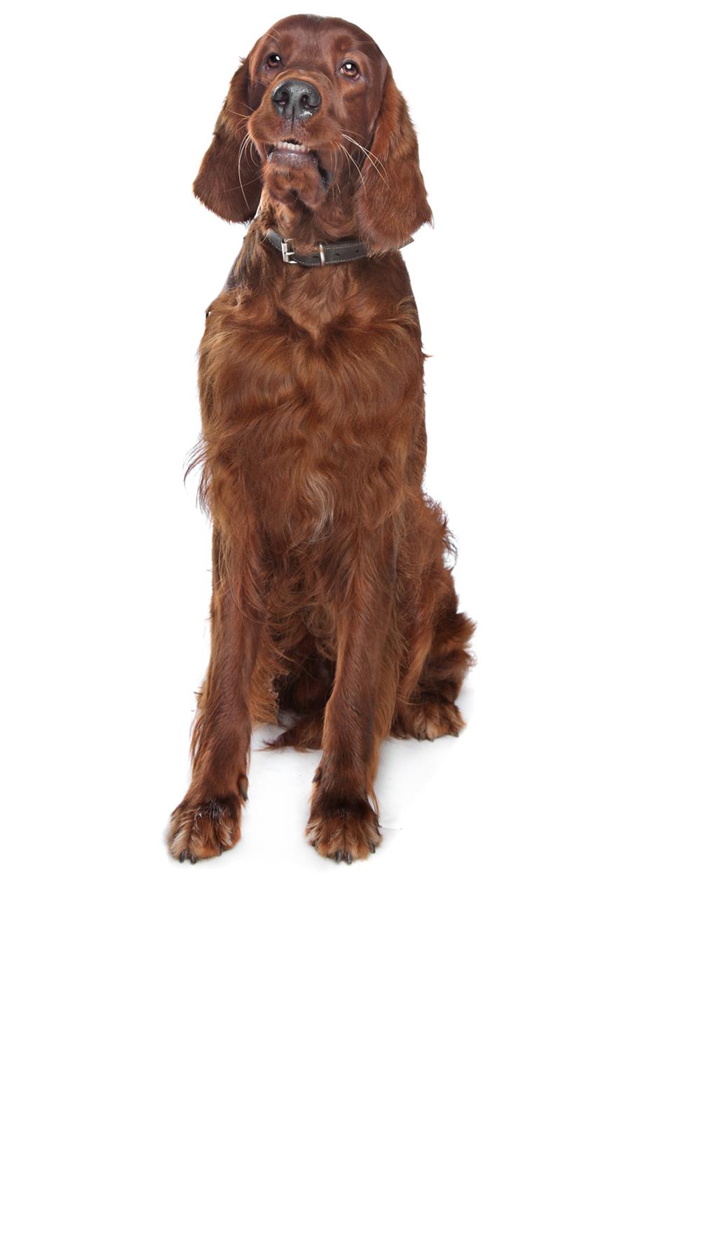 irish-setter dog breed