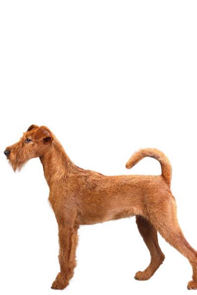 irish-terrier dog breed