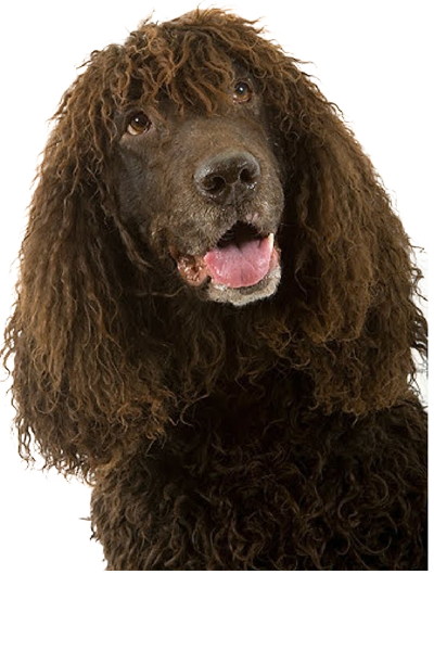 irish-water-spaniel dog breed