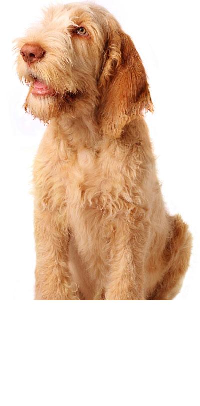 italian-spinone dog breed
