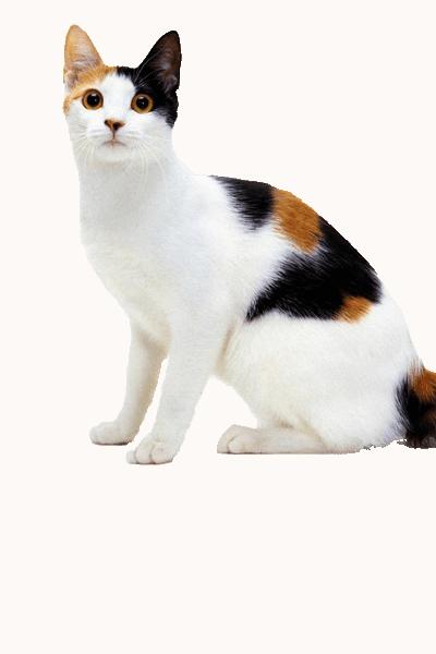 japanese-bobtail dog breed