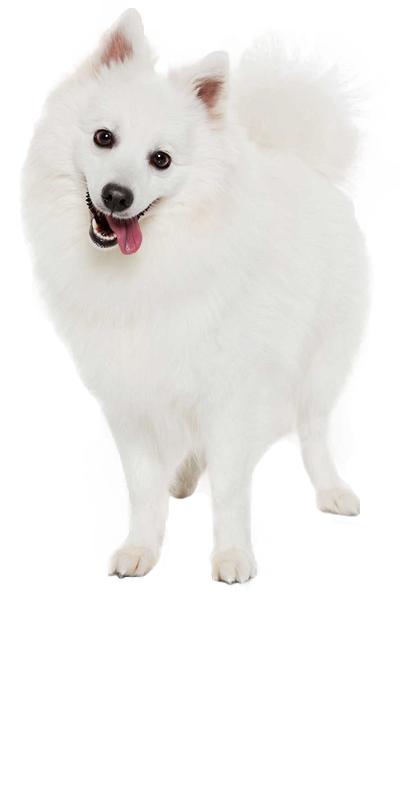 japanese-spitz dog breed