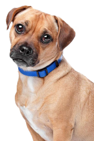 jug dog breed