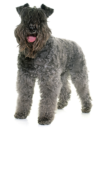 kerry-blue-terrier dog breed