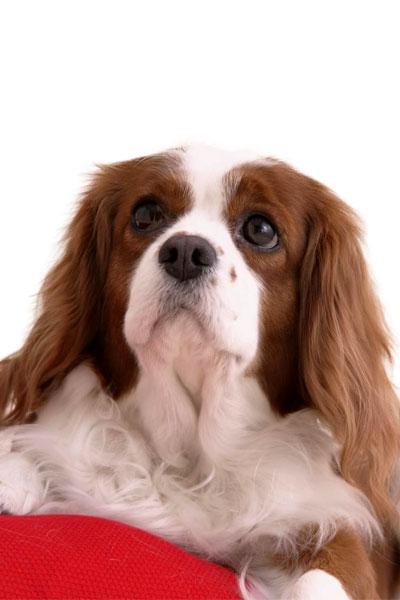 king-charles-spaniel dog breed