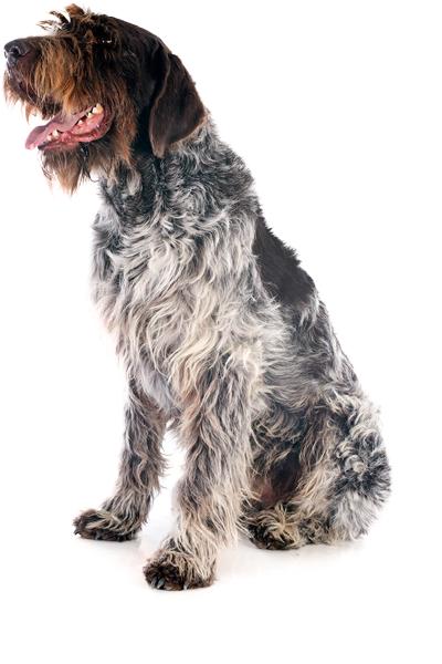 korthals-griffon dog breed