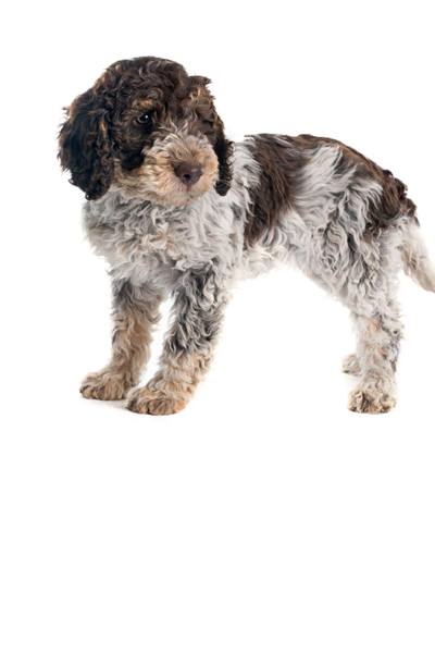 lagotto-romagnolo dog breed