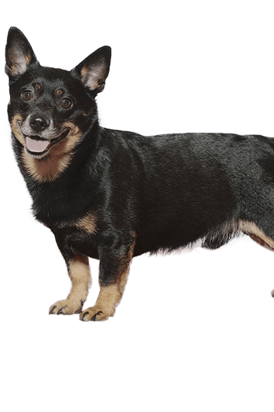 lancashire-heeler dog breed