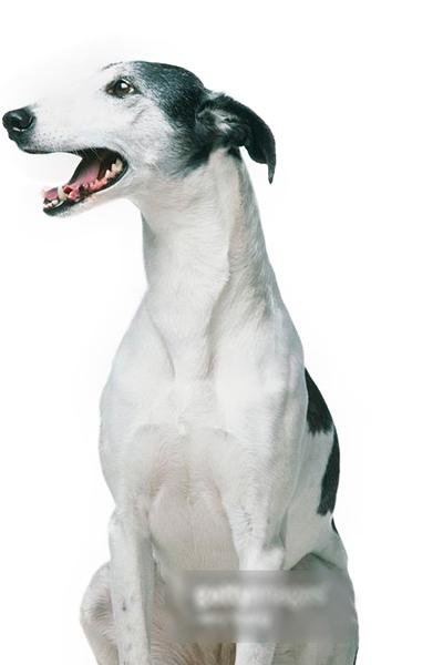 lurcher dog breed