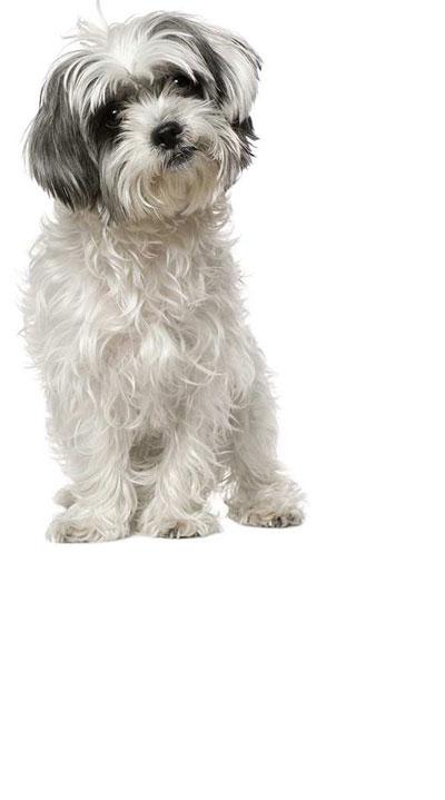 malshi dog breed