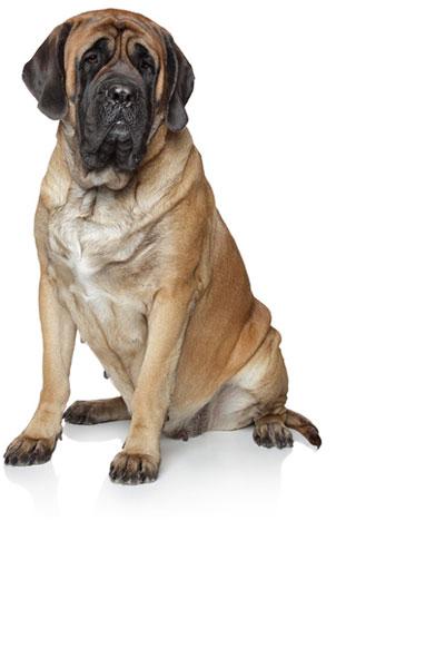 mastiff dog breed