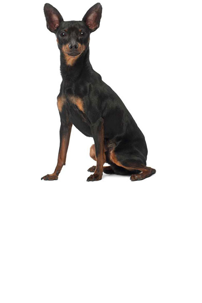 miniature-pinscher dog breed