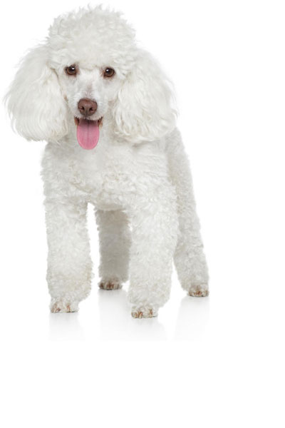 miniature-poodle dog breed