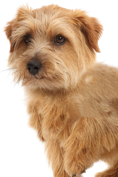 norfolk-terrier dog breed