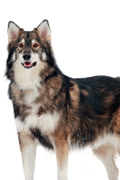 northern-inuit dog breed