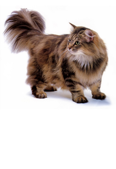 norwegian-forest-cat dog breed