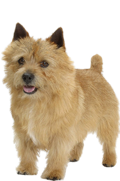 norwich-terrier dog breed