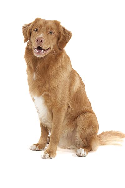 nova-scotia-duck-tolling-retriever dog breed