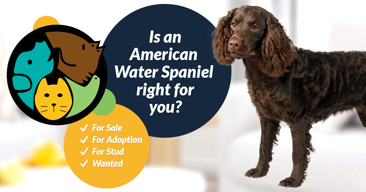 American Water Spaniel Dogs and Puppies For Sale in the UK ...