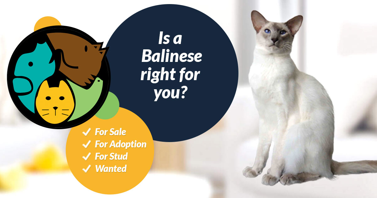 Balinese Cat Breed Information Uk Pets