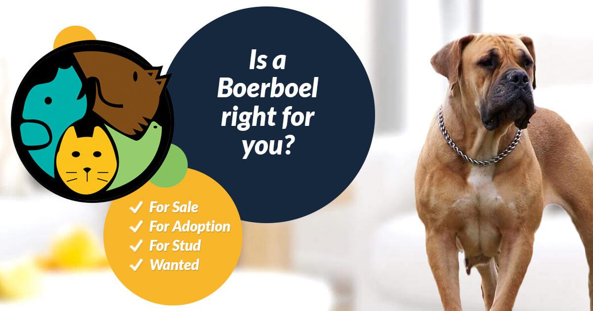 Boerboel Dog Breed Information | UK Pets