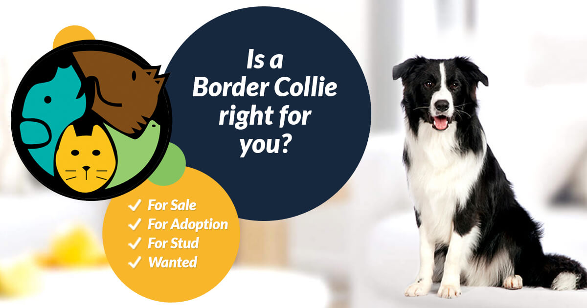 Border Collie Dogs For Sale   UK Pets